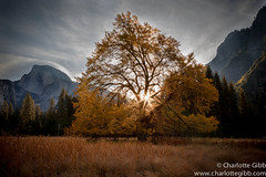 Yosemite's Cook's Meadow Elm Sunrise (Charlotte Hamilton Gibb) Tags: california morning tree sunrise landscape yosemite yosemitenationalpark elm cooksmeadow charlottegibbphotography