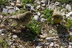 Serins cini (Serinus serinus) (Le No) Tags: bird 31 oiseau serinusserinus europeanserin hautegaronne midipyrnes stlon lauragais serincini fringillids passriformes collectionnerlevivantautrement octobre2012