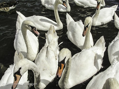 "Flock of Swans • <a style=""font-size:0.8em;"" href=""http://www.flickr.com/photos/44019124@N04/8174961686/"" target=""_blank"">View on Flickr</a>"