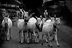 Heimwärts - Homeward In The Evening (AincaArt) Tags: autumn fall schweiz switzerland suisse herbst goat ziege svizzera berneroberland berneseoberland svizra geiss mungga nikond7000 heimwärtshomewardintheevening aincaart