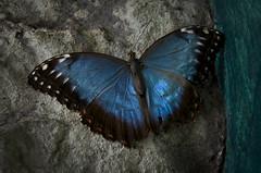 Farfalla. (°Valse°) Tags: blu ali genova colori acquario farfalla foresta libere pluviale macchie acquariodigenova