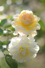 """rose, """"moon sprite"""" (snowshoe hare*(back and slowly catching up)) Tags: flowers rose botanicalgarden  americanrose dsc3164  moonsprite"""