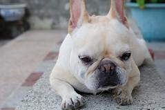 DSC_1461_2691 (o331128) Tags: pet animals puppy nikon taiwan bulldog dslr     tainancity d90