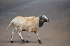 street goat (Pejasar) Tags: africa street animal mammal goat ghana westafrica mission horn missions fumc vimvolunteerinmission tulsafirstunitedmethodistchurch