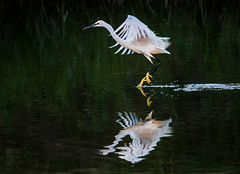 Landing (Andrea LD Nature) Tags: landing hegret egretta garzetta reflection canon eos 7d ef 70200 70200mm f4 l usm