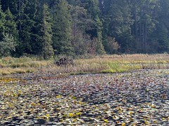In the Park (knightbefore_99) Tags: park fall water vancouver forest colours bc lilies cedar fir stanleypark peninsula hemlock beaverlake