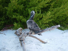 Young Red-Footed Booby Rescued from North Keeling Island 3 (dozafar) Tags: redfootedbooby sulasula