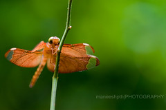 soft focus..... (maneeshpth) Tags: green nature rural canon flickr dragonfly kerala tip damselfly maneesh canon500d tamaron maneeshpth