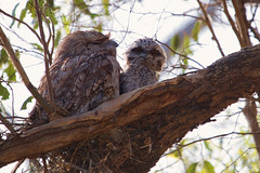 Tawny Frogmouth and chick 2012-11-17 (_MG_6963) (ajhaysom) Tags: podargusstrigoides