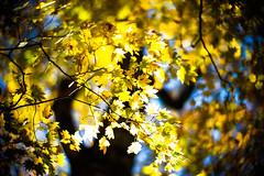 Fall, Leaves, Fall (moaan) Tags: life leica autumn light sunlight color digital 50mm glow dof bokeh f10 momiji japanesemaple utata aomori glowing noctilux tinted 2012  m9 towada tinged colorsofautumn autumnaltints goldendays inlife  leicanoctilux50mmf10 leicam9 tsutanuma  laketsuta