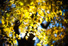 Fall, Leaves, Fall (moaan) Tags: life leica autumn light sunlight color digital 50mm glow dof bokeh f10 momiji japanesemaple utata aomori glowing noctilux tinted 2012 青森 m9 towada tinged colorsofautumn autumnaltints goldendays inlife 蔦沼 leicanoctilux50mmf10 leicam9 tsutanuma 蔦七沼 laketsuta