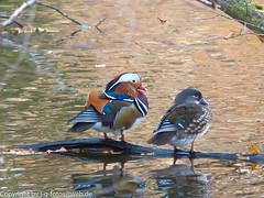 Mandarin Duck couple (xrxss15) Tags: birds animals germany tiere europe mandarinduck animalia excursion aixgalericulata badenwürttemberg anatidae mandarinente ducksgeeseandswans