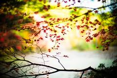Fragile Days (moaan) Tags: life leica color water digital 50mm pond glow dof bokeh f10 momiji japanesemaple utata glowing noctilux tinted 2012 flutter m9 tinged colorsofautumn autumnaltints inlife leicanoctilux50mmf10   leicam9 kobemunicipalarboretum flutteredinthewind