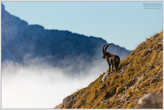 Capra ibex (Alessandro Laporta Photographer) Tags: fvg friuli capricorn ibex bouquetin friuliveneziagiulia laporta stambecchi stambecco alpensteinbock capricorno alpensteenbok capraibex alpineibex montasio stenbock sellanevea  boquetin altipianodelmontasio  kozoroechorsk ibekso stambeccodellealpi kszlikecske kozioroecalpejski alpskikozorog alessandrolaporta fotocesco alpesteinbukk  vuorikauris  cabradelsalps  alpdakeisi  kragvouchanalpo alpetarbasahuntz   alpesteibock oipmstoabock alpinisoys capraalpin