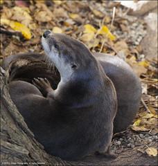 An otter on watch... (jfelege) Tags: autumn fall leaves zoo illinois ngc otters millerpark ssp riverotter millerparkzoo illinoiszoo zoosofnorthamerica zoopass speciessurvialplan speciesprotectionplan zoosinillinois zoosofillinois