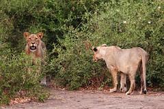 Playful youngsters (Rogan Templer) Tags: africa nature canon wildlife lion safari botswana predator chobe animalplanet bigfive africansky 600d