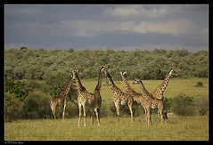 More giraffes (Ania Dembny) Tags: africa canon wildlife giraffes giraffe graceful masaimara 5dmkii aniajones copyright2014aniajones copyright2013aniajones copyright2012aniajones copyright2011aniajones copyright2010aniajones aniadembny aniadembnylrps
