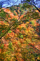 IMG_9894 (youkaine) Tags: november autumn red orange mountain yellow japan forest river waterfall hiking autumncolors foliage 日本 紅葉 秋 山 yamanashi 11月 川 ハイキング 山梨 nishizawakeikoku 葉っぱ 山梨県