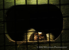 Behind Bars (Alex Wilkinson Photography) Tags: cottontoptamarin saguinusoedipus animalincaptivity takenatbutterflyhouseinsheffield