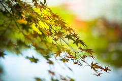 Leaves Whisper the Sound of Our Past (moaan) Tags: life color digital zeiss whisper glow dof bokeh 100mm momiji japanesemaple utata glowing tinted ze 2012 f20 tinged makroplanar colorsofautumn autumnaltints inlife 神戸市立森林植物園 長谷池 canoneos5dmarkiii zeissmakroplanart2100ze whispersofautumn carlzeissmakroplanart100mmf20ze kobemunicipalarboretum