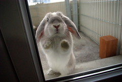 LET ME IN !!!!! (r2-detoo) Tags: holland cute rabbit bunny love smile bench outdoors jump little sweet blu conejo adorable mini agility merlin lopear bun lapin nugget mignon lop nain blier coneja banhbao bunsweet