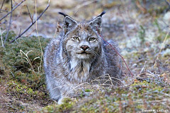 Canada Lynx (Critter Seeker) Tags: nature animal animals alaska cat canon mammal outdoors nationalpark wildlife canonrebel denali lynx denalinationalpark canadalynx lynxcanadensis mygearandme canont2i