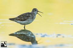 Chevalier sylvain (Les Frres des Bois) Tags: eau tringa chevalier marais oiseau sylvain oiseaux plumes plume glareola vasire limicoles