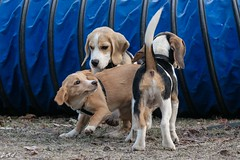 SPIELERISCHER FROSTMORGEN (rentmam1) Tags: beagle dogs hunde spieltag hundespiel buchstabenfotogruppe