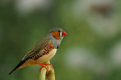 Zebra Finch (klythawk) Tags: leica red brown black macro green bird nature closeup grey dof sheffield olympus panasonic 45mm omd zebrafinch tropicalbutterflyhouse em5 klythawk
