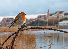 Waiting for Christmas (RichardBeech) Tags: christmas lake bird nature robin waiting wildlife dorset weymouth rougegorge radipole richardbeech rdb75