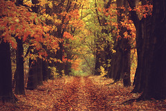 (nettisrb) Tags: wood autumn trees light naturaleza color tree fall nature colors leaves fairytale forest automne canon germany landscape deutschland eos gold golden licht photo leaf alley path herbst jahreszeit jahreszeiten natur herfst natura autumncolors photograph otoo magical landschaft wald bltter autunno bume haust hst farben syksy allee spaziergang jesie waldweg naturesfinest herbststimmung herbstfarben efterr wlder herbstlich autumnday herbsttag anawesomeshot  naturwatcher herbstag