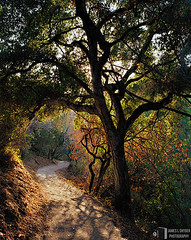 Back-lit Oak by Dusty Trail (James L. Snyder) Tags: california ranch park summer usa brown sun sunlight foothills painterly tree green dusty leaves vertical rural forest oak quercus woods warm afternoon shadows natural native hiking branches country tan bank dry sunny canyon brush september foliage trail bark bayarea trunk late glowing backlit openspace hillside canopy 2008 bushes graceful preserve santacruzmountains vignette shrubs luminous radiant sylvan slope thirsty serpentine enchanted backlighting losaltoshills russet thicket shaded beckoning santaclaracounty waterless snaking ranchosanantonio santaclaravalley filteredlight openspacepreserve treesonhills farmbypasstrail