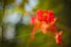 Find the Pollen (skvsree) Tags: red flower macro green 35mm canon tokina pollen chennai stigma dakshinchitra 550d t2i skvsree