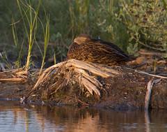 BI121119-570-Mottled Duck (lgooch) Tags: texas southpadreisland mottledduck anasfulvigula taxonomy:binomial=anasfulvigula november2012 southpadreislandbirdingandnaturecenter