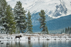 Moose - Maligne Lake, Alberta (Old-Man-George) Tags: wild snow canada cold nature wildlife moose alberta jaspernationalpark malignelake d881252edit