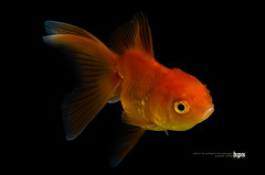 goldfish isolated on black background (happySUN.) Tags: red ballet orange pet white fish motion black detail cute eye art beauty animal closeup swim butterfly pose japanese gold idea aquarium big movement funny asia underwater view goldfish exercise action decorative background tail chinese creative dancer hobby exotic domestic fishbowl lucky tropical jelly elegant fin decor luxury isolated jellyhead