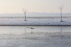 Lowflyer (KennethVerburg.nl) Tags: winter lake netherlands dutch landscape swan meer sneeuw nederland flevoland 2012 landschap almere zwaan almerehaven overgooi