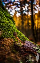 Equilibrio otoal (Sethiko) Tags: trees tree musgo forest bokeh selva bosque otoo tronco seta hongo autumm navarra tierra humedad musg rebolln