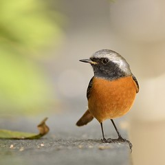 {} Daurian Redstart ( Boti) Tags: portrait macro bird nature animal closeup outdoors photography hongkong daylight nikon day bokeh wildlife delightful eyecatching wildbird colorimage naturalpattern beautyinnature migrantbird animalthemes animalbehavior symbioticrelationship focusonforeground turecolors