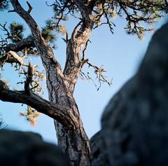 fiber and stone (Just-a-Song) Tags: tree love film stone mediumformat square heart grow hasselblad strength thrive hasselblad500cm nwmontana kodakektar100