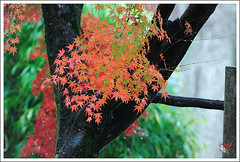20121126_6579e_ (Redhat/) Tags: autumn fall japan temple maple kyoto redhat              sinnyodo