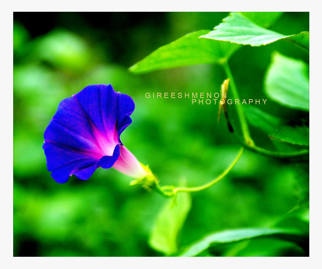 The worlds best photos of bluemorningglory flickr hive mind blue dawn flower ipomoea indica gireeshmenonvallath tags blue morningglory oceanblue convolvulaceae izmirmasajfo