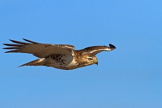 Glider - Red-tailed hawk