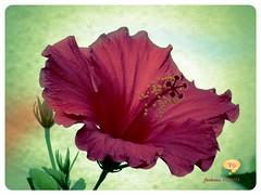 Mallorca -hibisco rojo -variaciones- (ferlomu) Tags: ferlomu flor hibiscum mallorca olétusfotos flower obisco