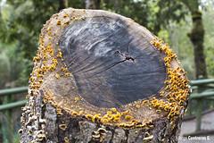 Textura Hongos (TONYCO33) Tags: tronco hongos sur chile bosque