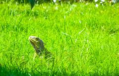 Green Nature (1jonathan1) Tags: iguana animal wildlife sun light morning grass color nature naturaleza love photography cartagenadeindias colombia park walk