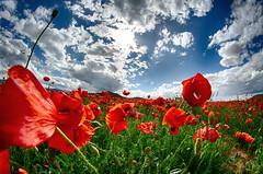 A refugio (maitabilbo) Tags: red sun flower primavera sol clouds landscape spring rojo flor nubes poppy larioja amapola