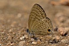 Nacaduba pactolus - the Large Four-Line Blue (BugsAlive) Tags: butterfly butterflies animal outdoor insects insect lepidoptera macro nature lycaenidae nacadubapactolus largefourlineblue polyommatinae wildlife chiangrai lamnamkoknp liveinsects thailand thailandbutterflies