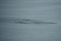 2016-07-22 S9 JB 102625#co1 (cosplay shooter) Tags: humpback humbackwhale buckelwal wal norwegen norway polarkreis nordpolarkreis nordkap northcape arcticcircle x201608 100a norge