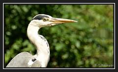 Eagle eye'd (Tadie88) Tags: nikond7000 nikon18200lens carshaltonponds surrey wildlife heron